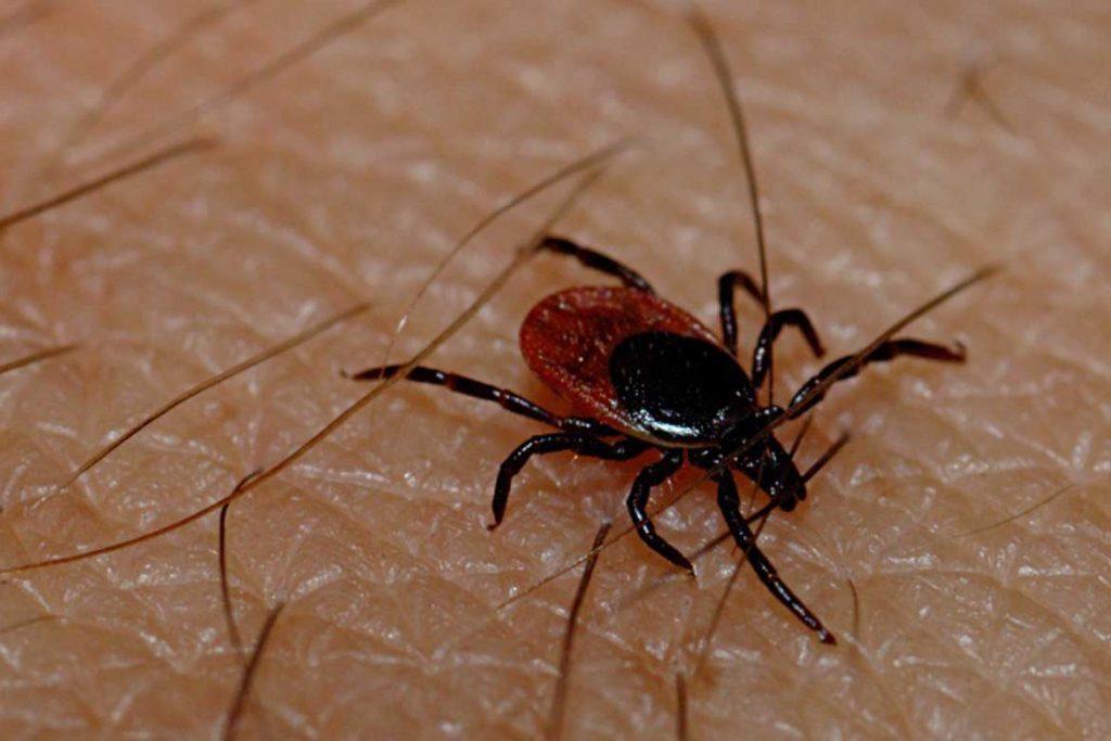 Иксодовые клещи – 10 фото описание жизненный цикл среда обитания какие болезни передают Первая помощь при укусах Ixodes ricinus
