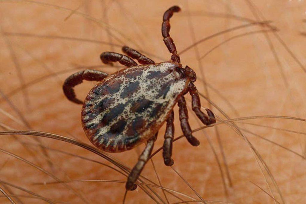 Иксодовые клещи – 10 фото описание жизненный цикл среда обитания какие болезни передают Первая помощь при укусах Dermacentor reticulatus