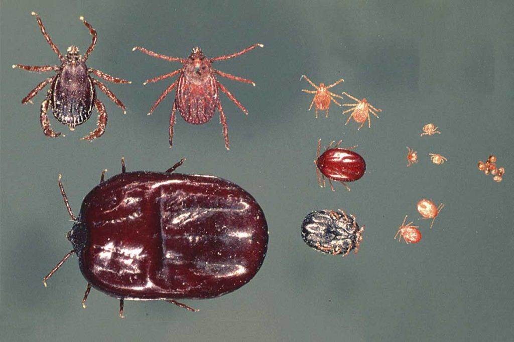 Иксодовые клещи – 10 фото описание жизненный цикл среда обитания какие болезни передают Первая помощь при укусах цикл жизни