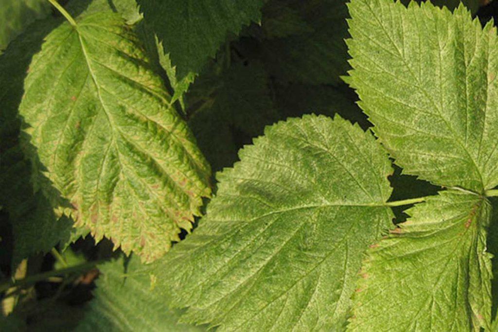 Как бороться с паутинным клещом на малине пигментация