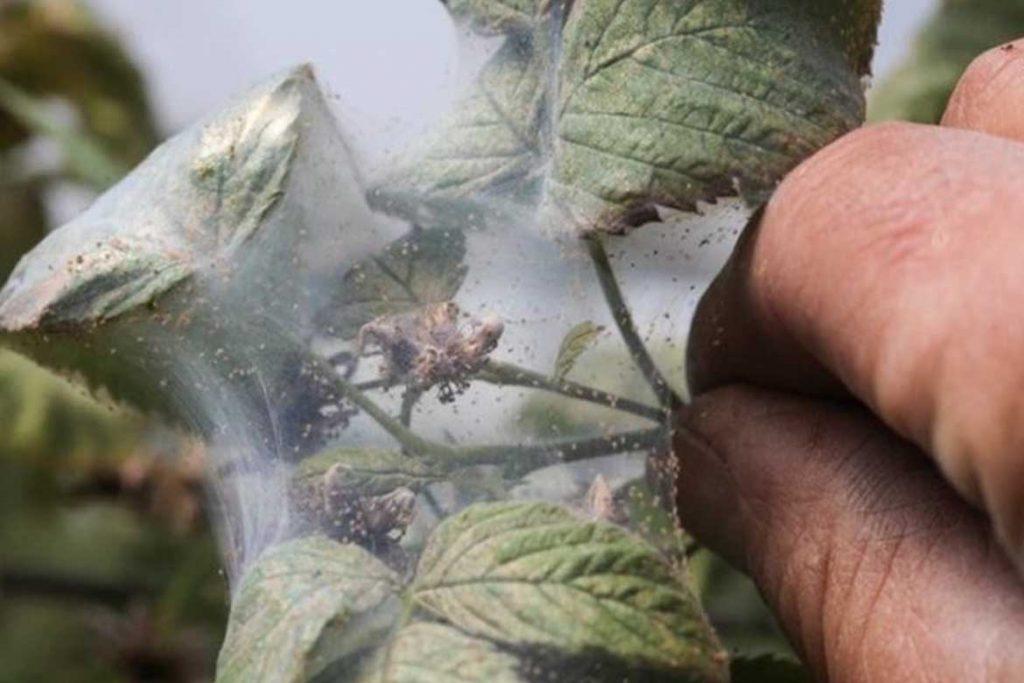 Как бороться с паутинным клещом на малине проблема