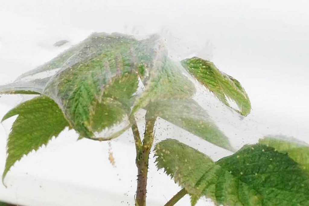 Как бороться с паутинным клещом на малине молодые побеги