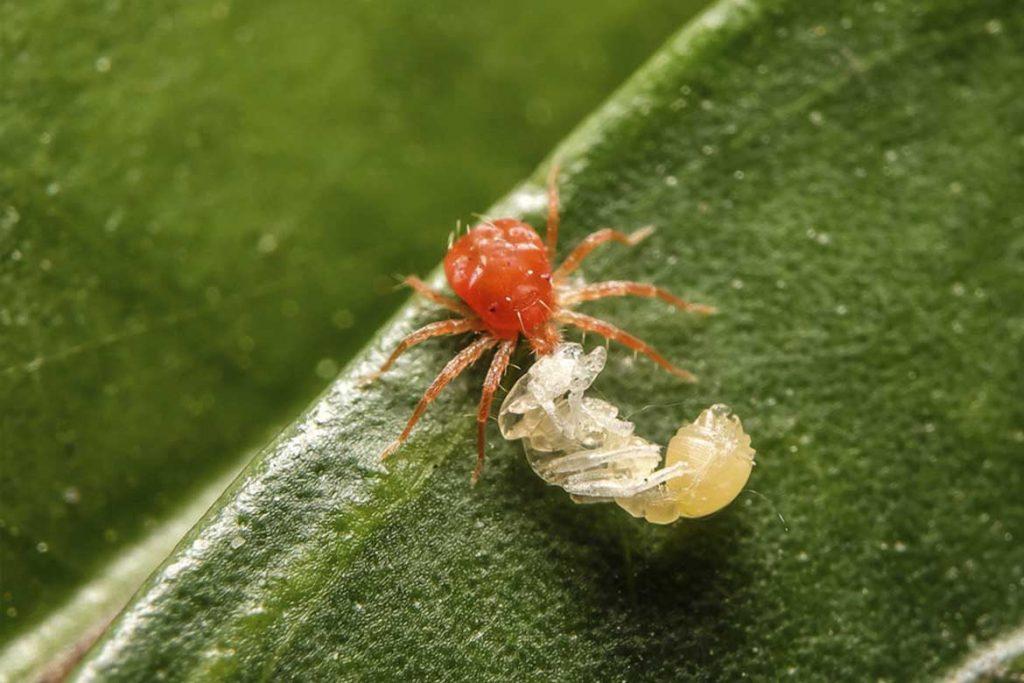 Клещи красного цвета фото описание где обитают и причиняют ли вред Методы борьбы с насекомыми Tetranychus cinnabarinus