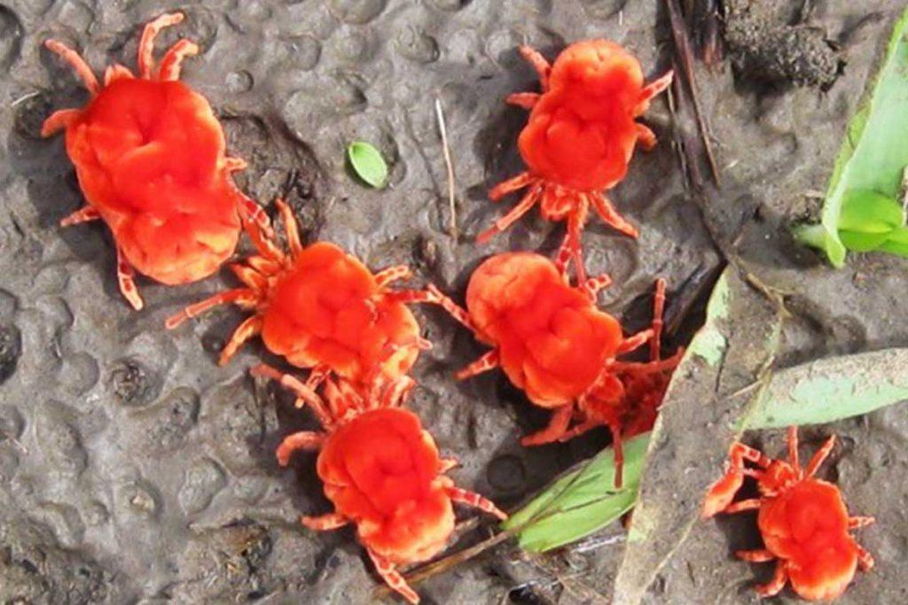 Клещи красного цвета фото описание где обитают и причиняют ли вред Методы борьбы с насекомыми краснотелка