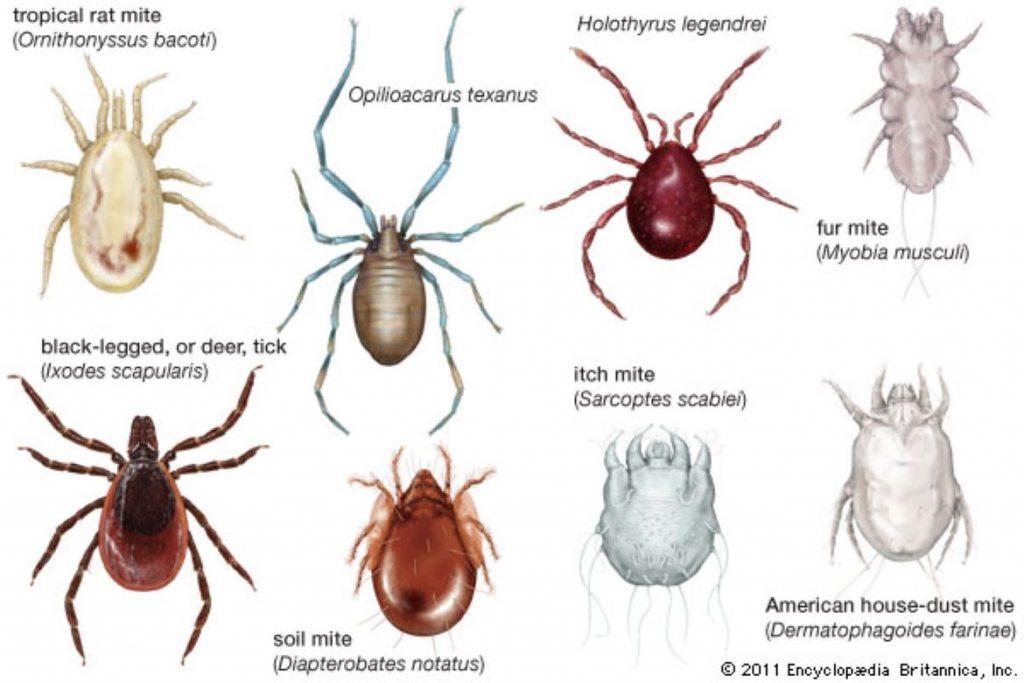 Клещи царство животные виды клещей