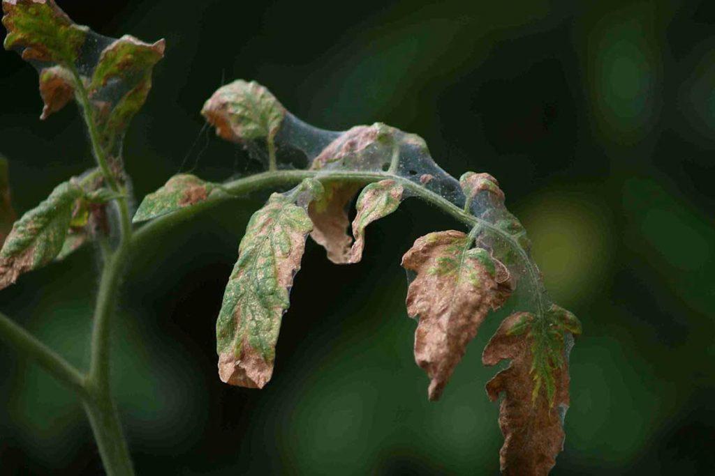 Паутинный клещ – как выглядит виды как распознать его на растениях и как от него избавиться раз и навсегда эффективные методы борьбы на помидорах