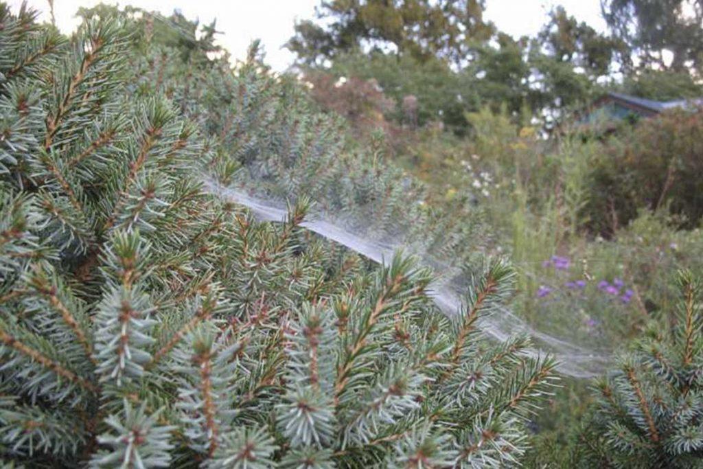 Паутинный клещ – как выглядит виды как распознать его на растениях и как от него избавиться раз и навсегда эффективные методы борьбы на хвойных