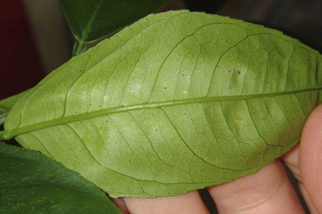 Паутинный клещ – как выглядит виды как распознать его на растениях и как от него избавиться раз и навсегда эффективные методы борьбы на лимоне