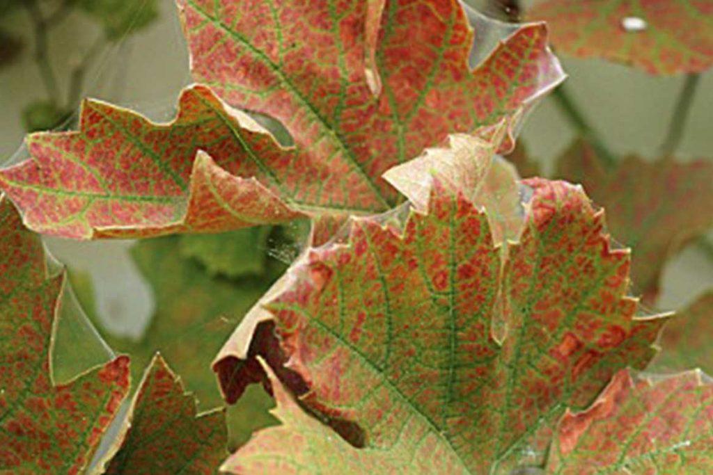 Паутинный клещ – как выглядит виды как распознать его на растениях и как от него избавиться раз и навсегда эффективные методы борьбы на винограде