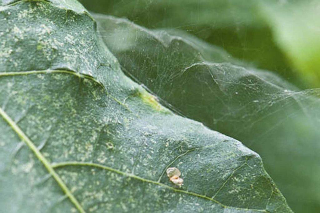 Паутинный клещ – как выглядит виды как распознать его на растениях и как от него избавиться раз и навсегда эффективные методы борьбы на инжире