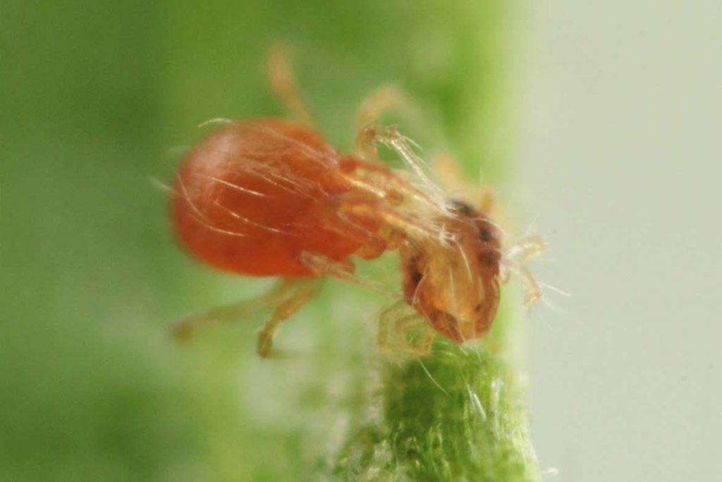 Паутинный клещ – как выглядит виды как распознать его на растениях и как от него избавиться раз и навсегда эффективные методы борьбы 44 Phytoseiuluspersimilis