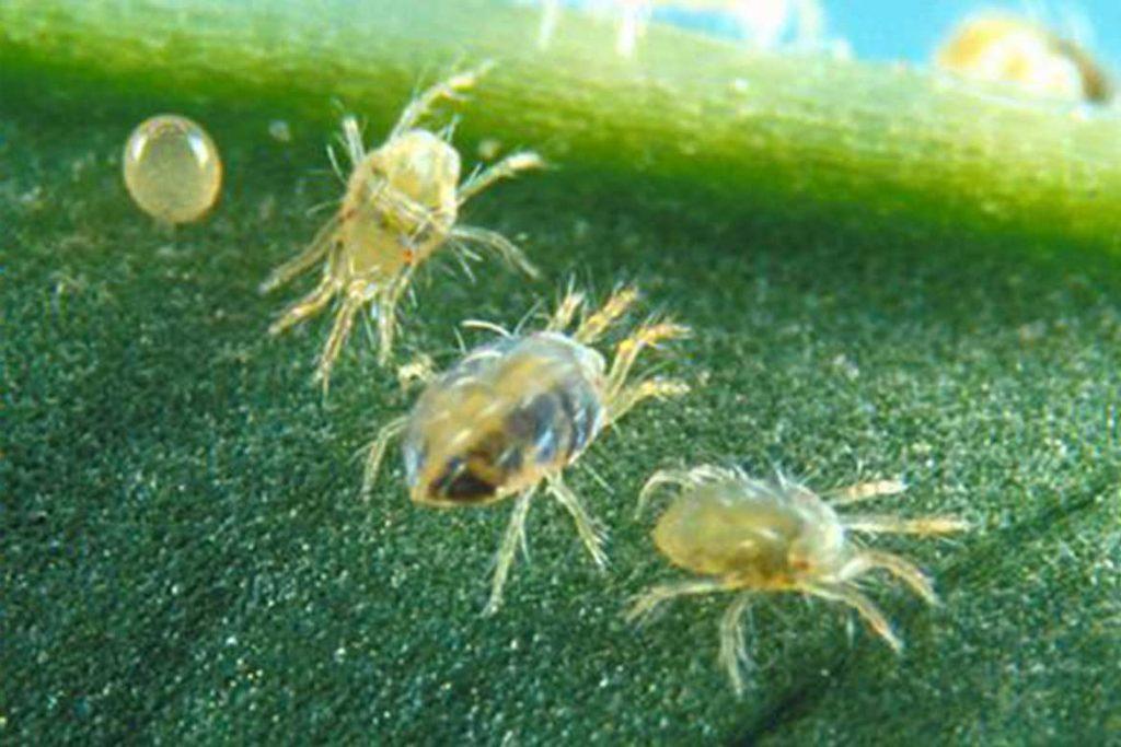 Как бороться с паутинным клещом на сое – срок жизни
