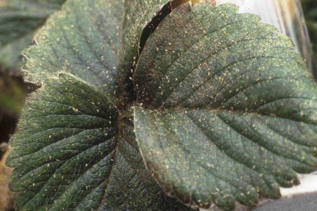 Паутинный клещ на клубнике и землянике как выглядит как эффективно бороться отзывы огородников и агрономов фото 3