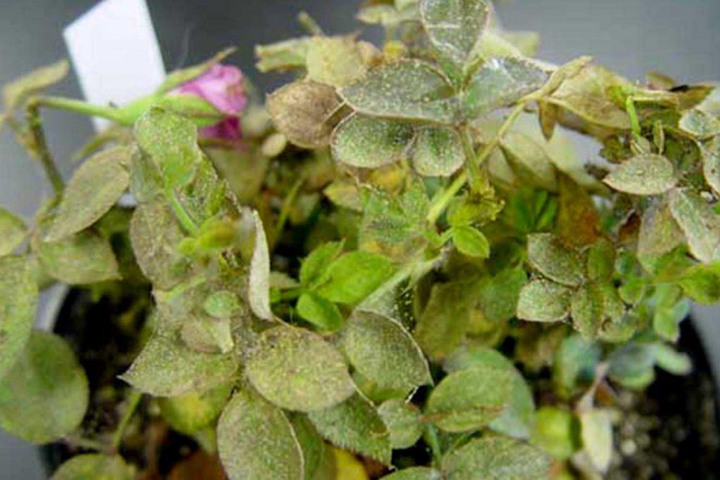 Паутинный клещ на комнатных растениях розы