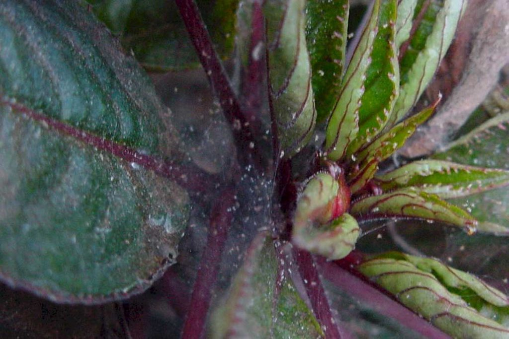 Паутинный клещ на комнатных растениях бальзамин