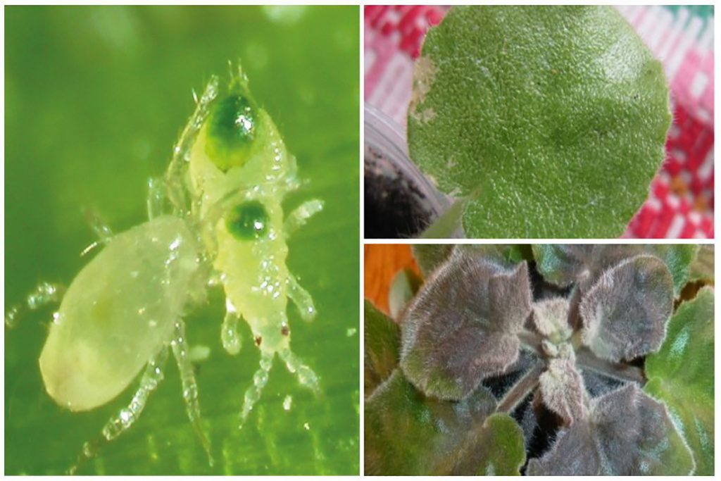 Цикламеновый клещ (Tarsonemus pallidus) - описание, размножение, методы борьбы вид