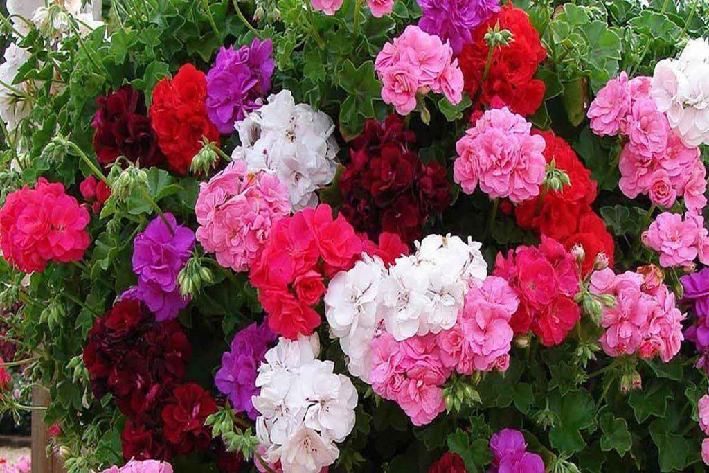 Цикламеновый клещ (Tarsonemus pallidus) - описание, размножение, методы борьбы цветы