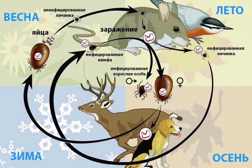 Таёжный клещ Ixodes persulcatus – 10 фото описание жизненный цикл главный враг человека на природе как защититься и первая помощь при укусе жизненный цикл