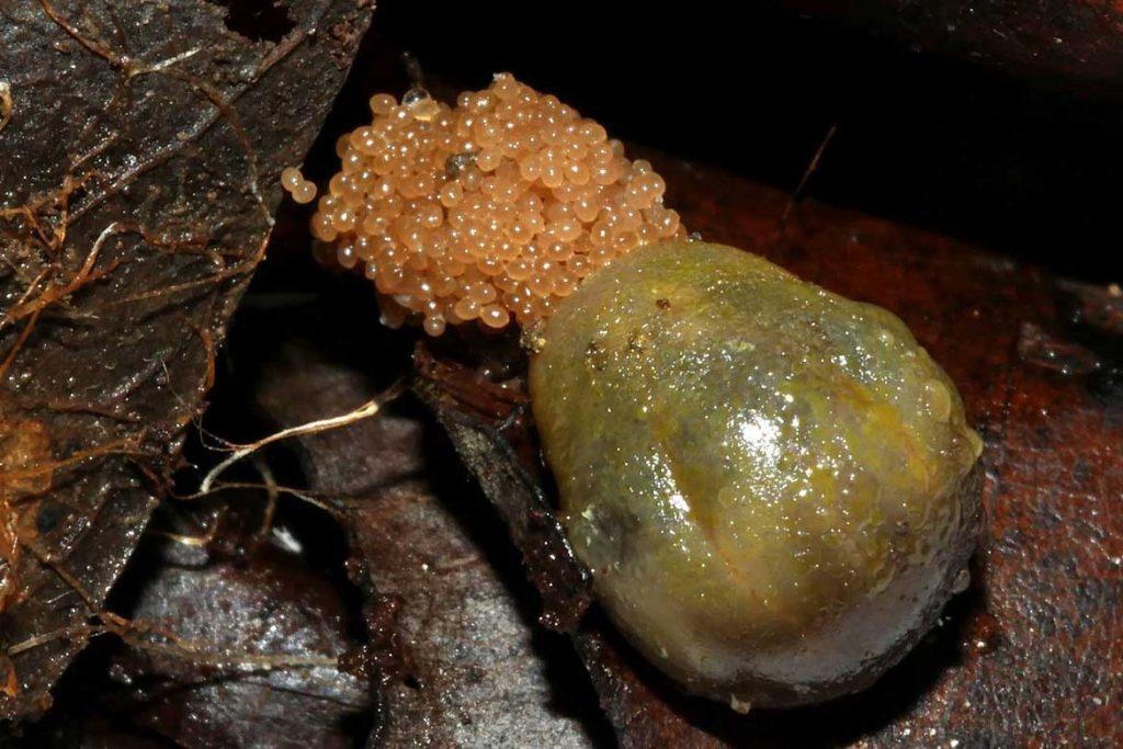 Таёжный клещ Ixodes persulcatus – 10 фото описание жизненный цикл главный враг человека на природе как защититься и первая помощь при укусе кладка яиц
