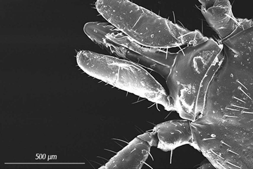 Таёжный клещ Ixodes persulcatus – 10 фото описание жизненный цикл главный враг человека на природе как защититься и первая помощь при укусе ротовой аппарат