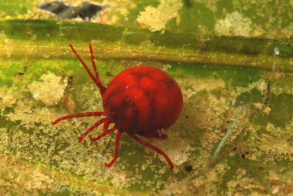 Водяные клещи (Hydrachnidae) – морские и пресноводные виды как выглядят чем питаются опасны ли для человека окрас
