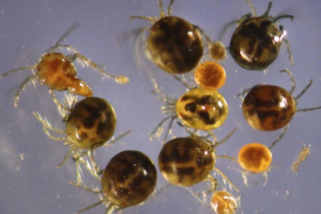 Водяные клещи (Hydrachnidae) – морские и пресноводные виды как выглядят чем питаются опасны ли для человека многообразие