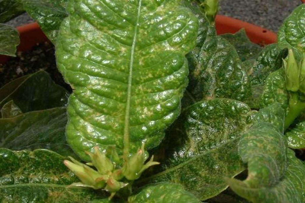 Зеленый клещ