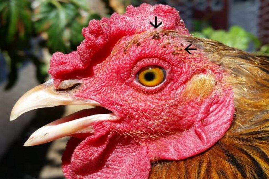 Чем опасны клещи для человека – профилактика энцефалита амбарные клещи курицах