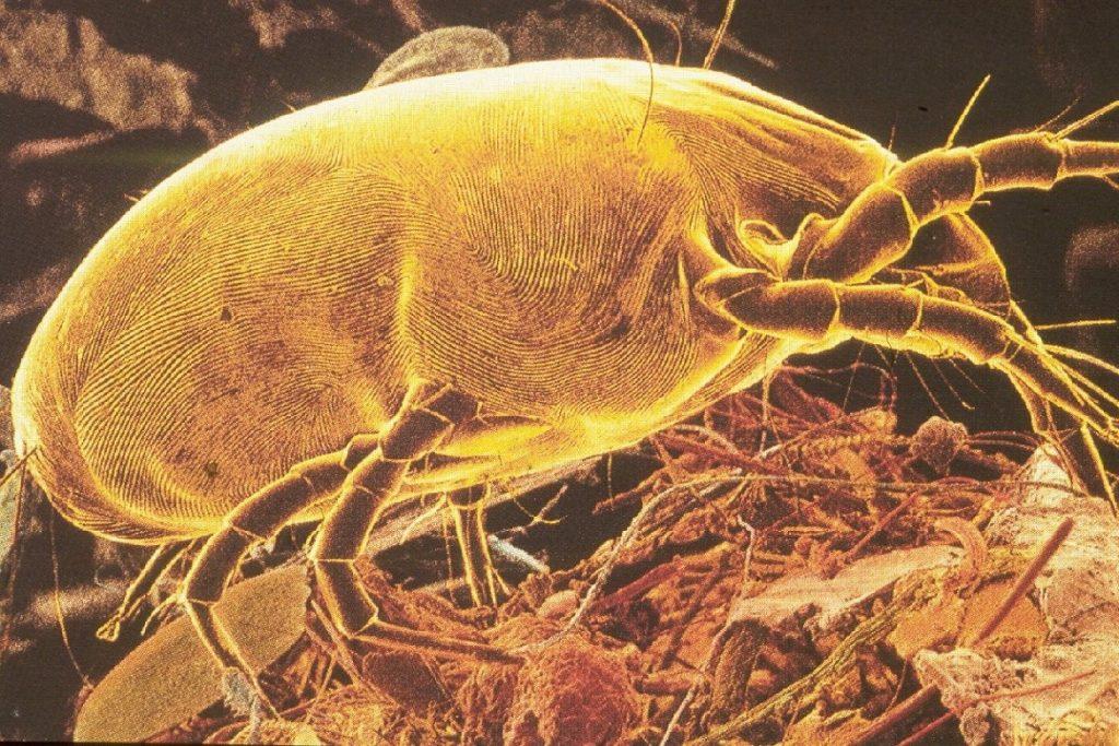 Чем опасны клещи для человека – профилактика энцефалита пылевой клещ