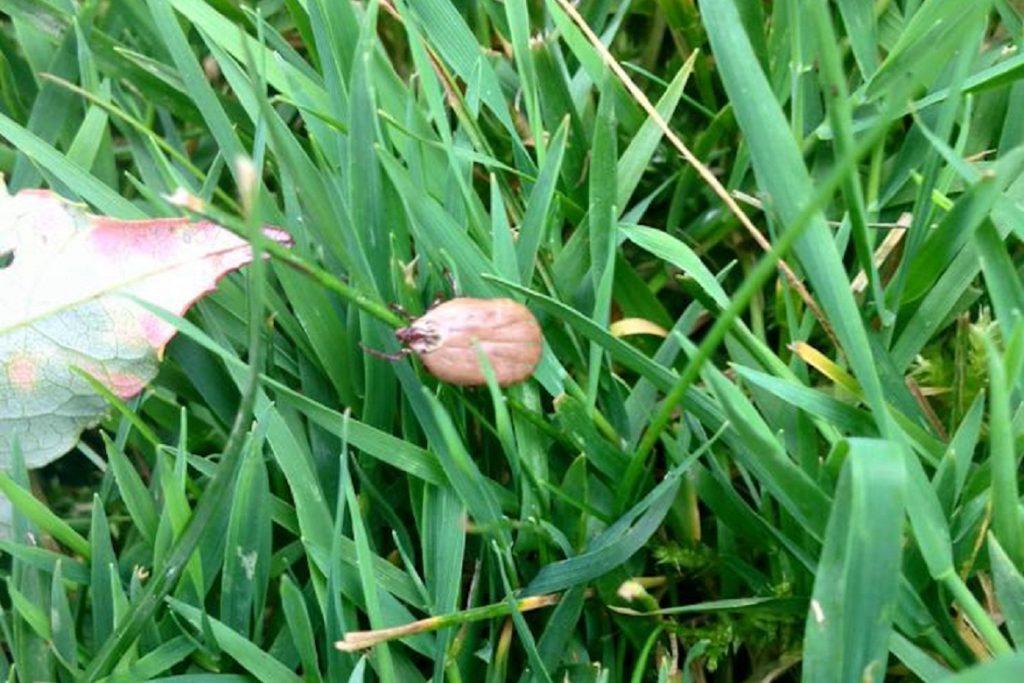 Где живут клещи – в траве или на деревьях, и в каких местах обитают энцефалитные клещи после питания