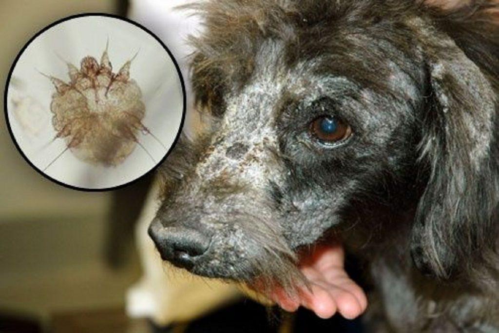 Инспектор – капли для собак: инструкция по применению, отзывы чесоточный клещ
