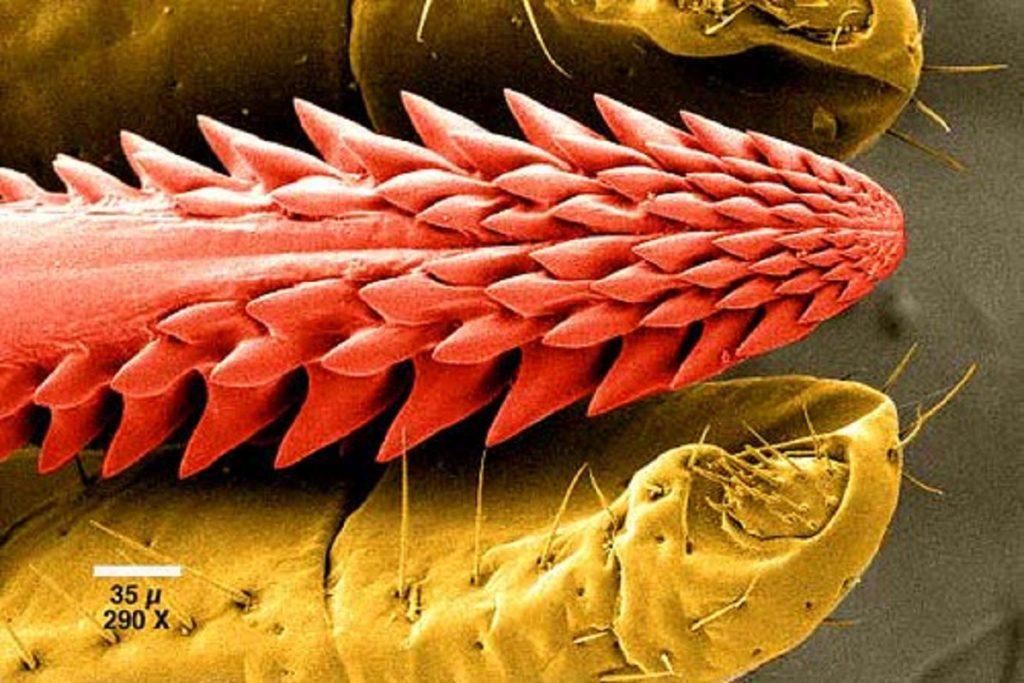 Напившийся крови клещ – как выглядит (фото), может ли сам отвалиться после укуса и как