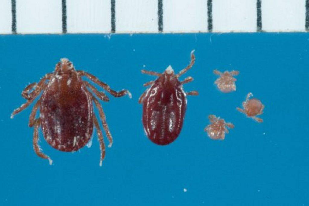 Нимфа (личинка) клеща: как выглядит, этапы развития, опасна ли для человека, развитие клеща