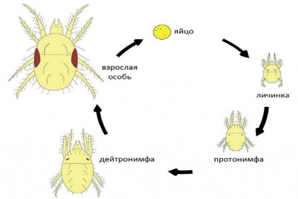 Нимфа (личинка) клеща: как выглядит, этапы развития, опасна ли для человека, схема развития