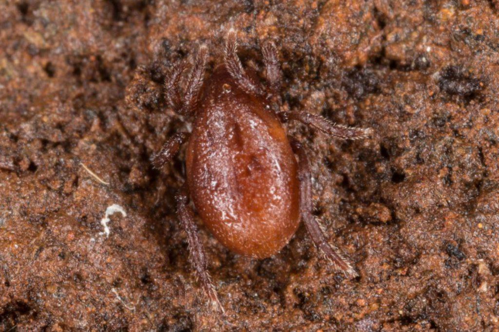 21 вид клещей, паразитирующих на животных и человеке - Holothyrida