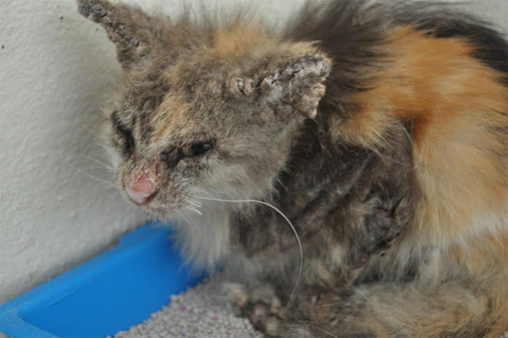 4 вида подкожного клеща у кошек и котов: кто беспокоит животное, как обезвредить, меры профилактики основная опасность
