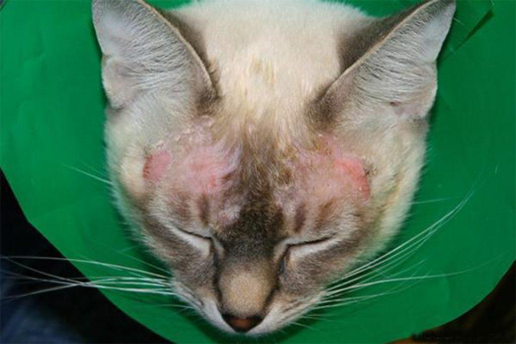 4 вида подкожного клеща у кошек и котов: кто беспокоит животное, как обезвредить, меры профилактики общие симптомы заболеваний