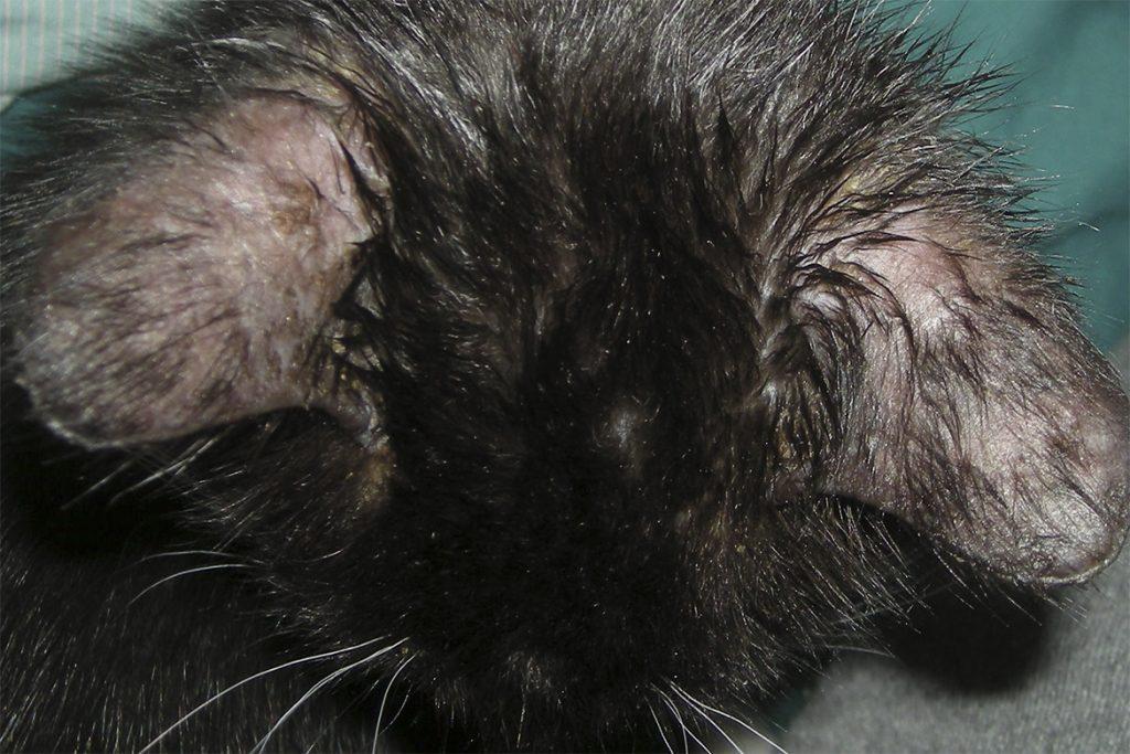 4 вида подкожного клеща у кошек и котов: кто беспокоит животное, как обезвредить, меры профилактики признаки активации клеща