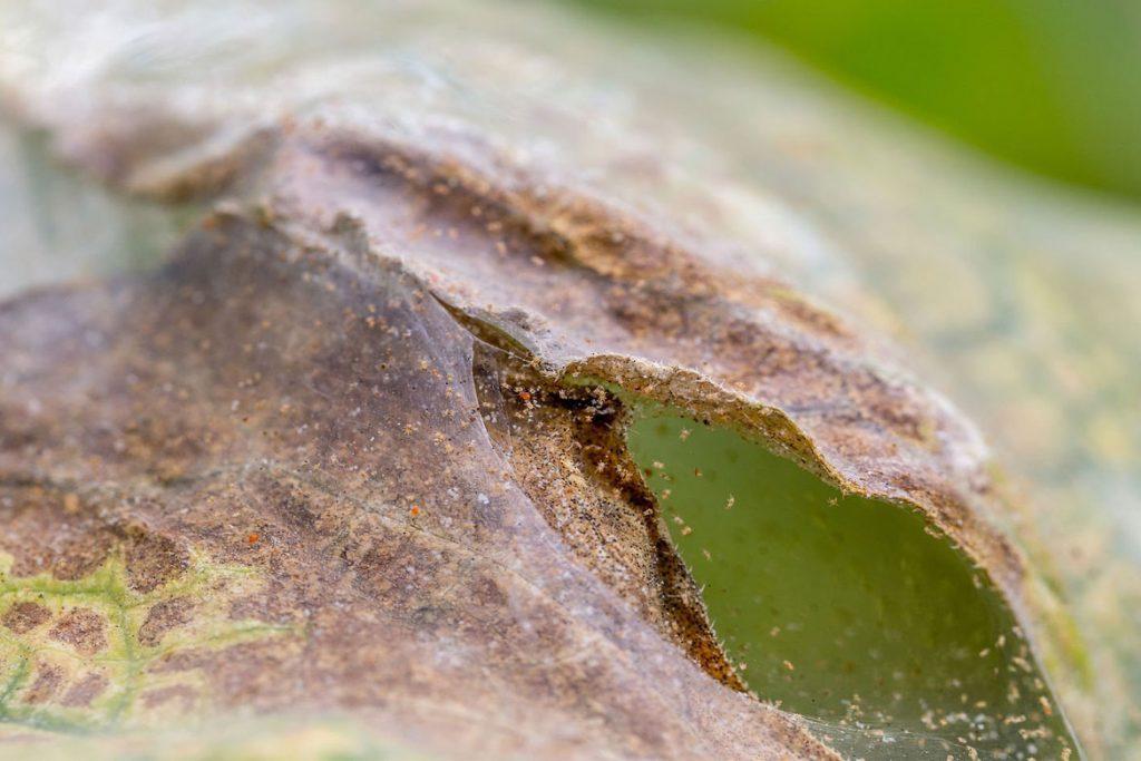 5 сортов огурца устойчивых к паутинному клещу - лист