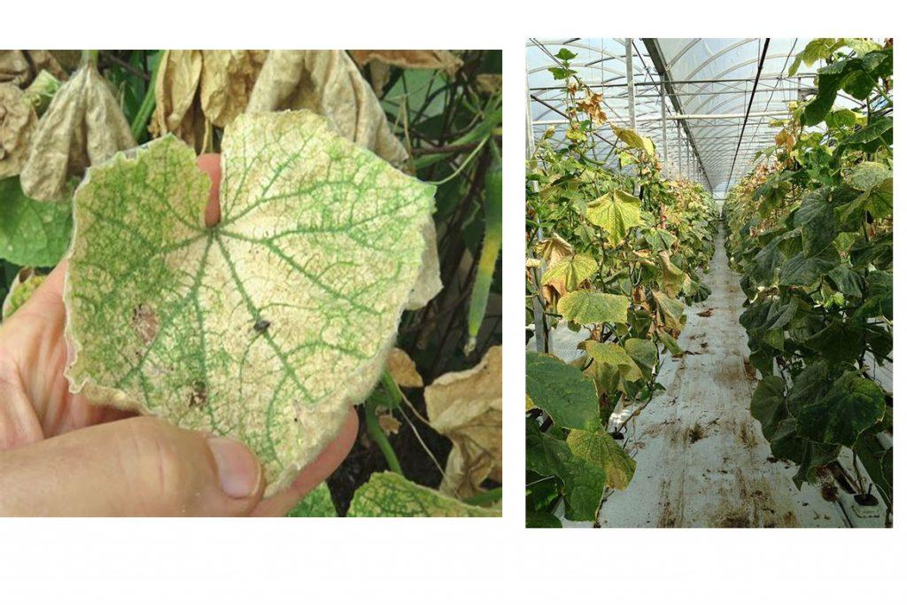 5 сортов огурца устойчивых к паутинному клещу – на взрослом растении