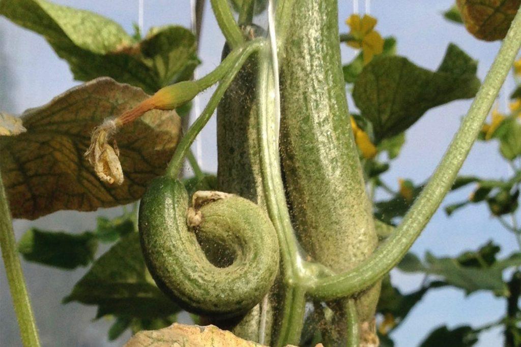 5 сортов огурца устойчивых к паутинному клещу – плоды