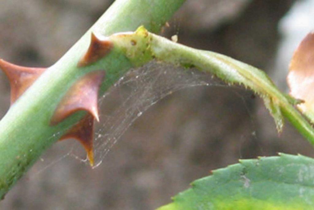 Как эффективно бороться с паутинным клещом на розах стебель