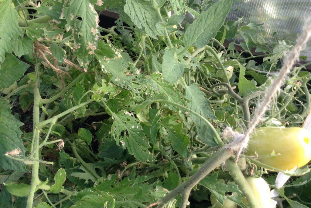 Последствие на растении от паутинных клещей - как избавиться