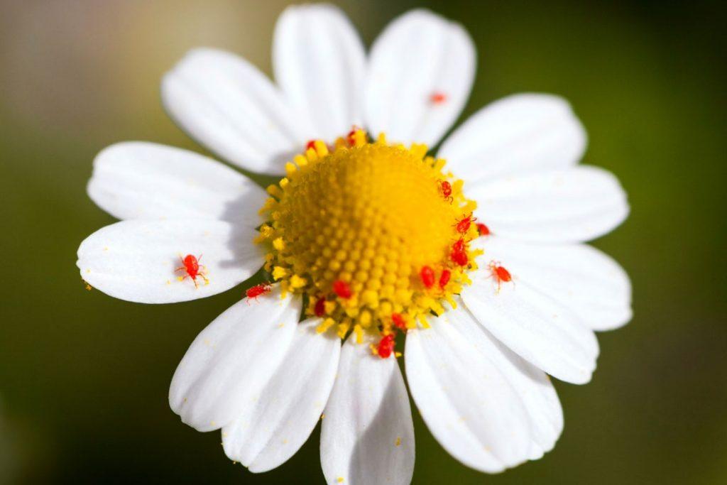 Клещи-краснотелки – кровососущие паразиты, фото - на растениях