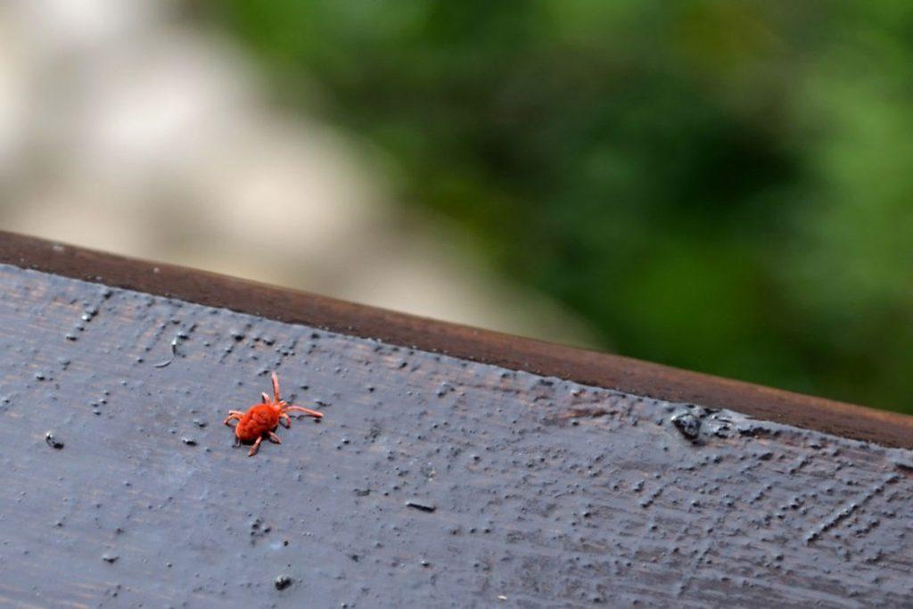 Клещи-краснотелки – кровососущие паразиты, фото - охота