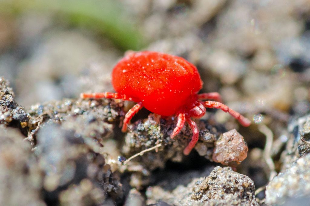Клещи-краснотелки – кровососущие паразиты, фото - нападение
