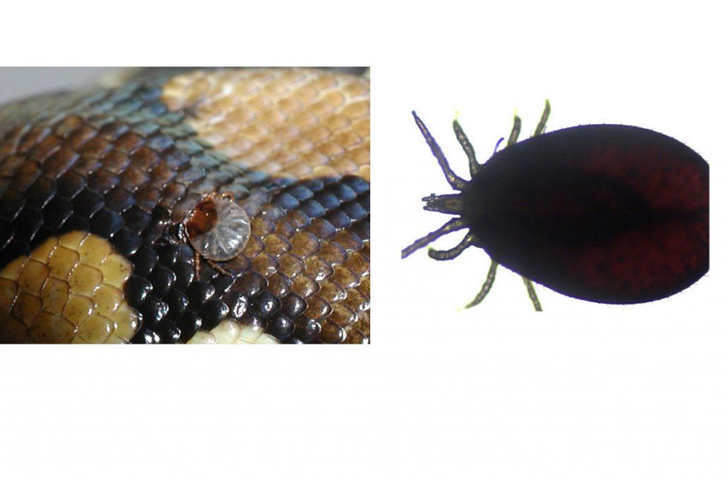 Клещи на рептилиях, змее, ящерицах – Ophionyssus natricis