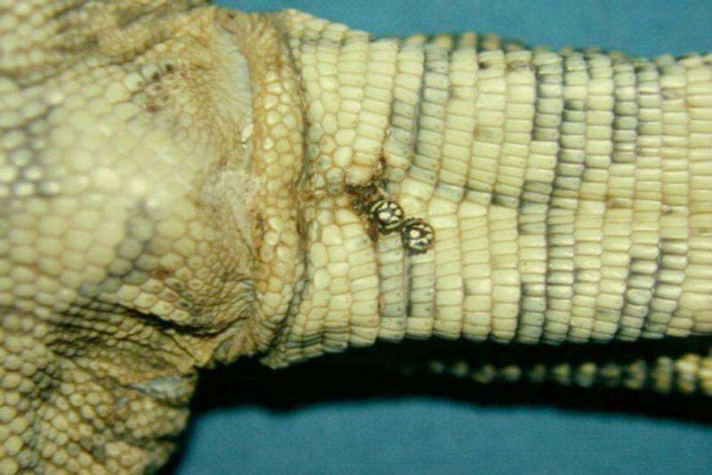 Клещи на рептилиях, змее, ящерицах – Hirstiella trombidiiformis