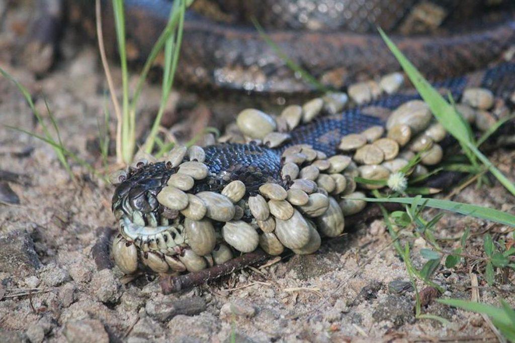 Клещи на рептилиях, змее, ящерицах – поражение
