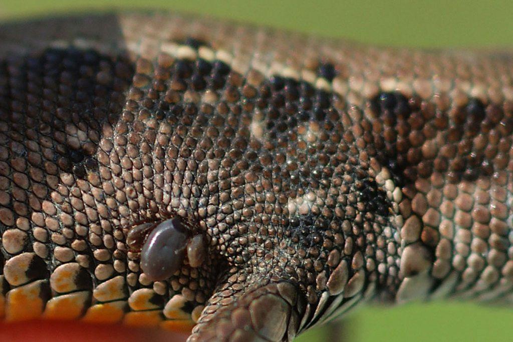 Клещи на рептилиях, змее, ящерицах – симптомы